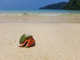 A journey of Hermit Crab in the beach