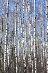 Garden Poster Birch Grove Trunks of birch trees against blue sky, birch forest in sunlight in spring, birch trees in bright sunshine