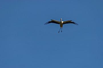 White stork in flight, Rila mountain, Bulgaria