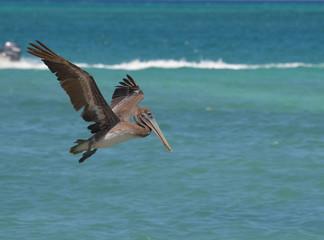 Beautiful Pelican Flying Over Water in Aruba
