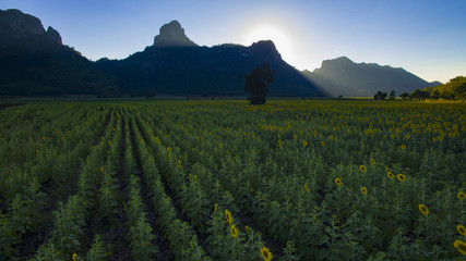 aerial view of sun flower field and lime stone mountain in lopburi thailand