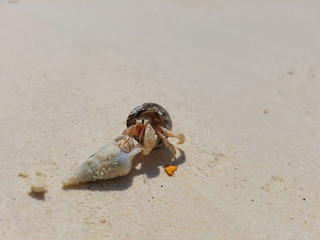 The journey of Hermit Crab on the beach.