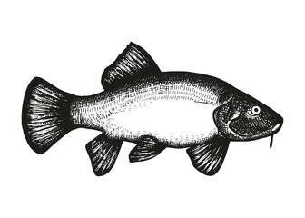 Carp fish vector sketch