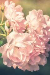 Flowers of pink rose growing in nature on soft pastel color