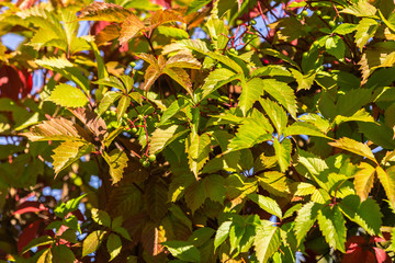 Wild grape green and red leaves wall as background