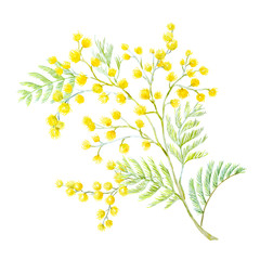 Watercolor mimosa flowers
