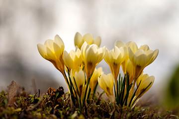 Poster Krokussen Crocus chrysanthus Cream Beauty