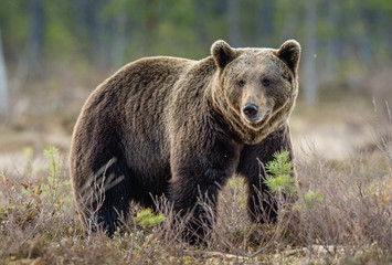 Brown Bear (Ursus arctos) on the swamp in spring forest.