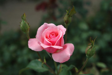 Pink rose with three buds.