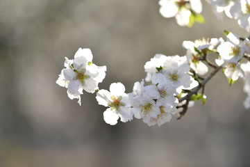 The almond tree white flowers on branch at spring