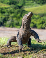 The Komodo dragon ( Varanus komodoensis ) stands on its hind legs . It is the biggest living lizard in the world.  Island Rinca. Indonesia.