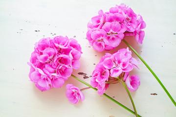 Pink garden geranium variety Rocky Mountain Pink.