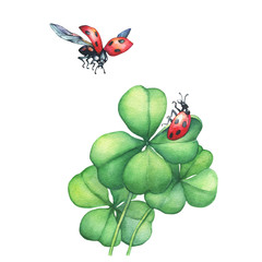Ladybug in flight and sitting on a green four leaf clover.  Hand drawn watercolor painting on white background.