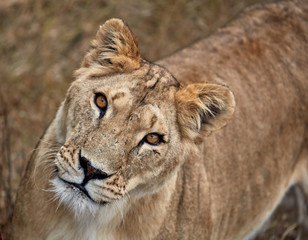 Portrait of a lioness. Close-up African lioness (Panthera leo)