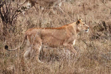 Lioness in the savanna