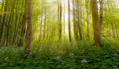 Magic scenic forest of fresh green deciduous trees with the sun casting its rays of light through the foliage