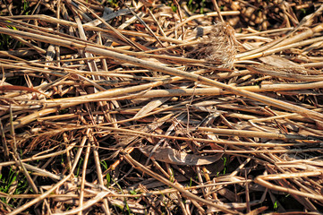 Dry straw background