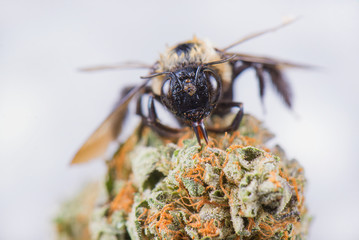 Macro detail of a bee over dried cannabis nug isolated over white background