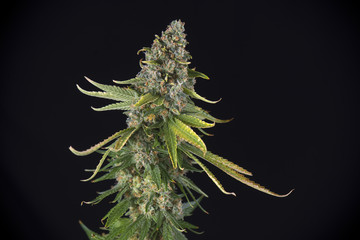 Cannabis cola (green crack marijuana strain) with hairs and leaves on late flowering stage
