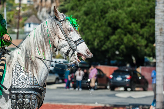 Elegant costume white horse shows teeth and spit in St Patrick's Day parade.