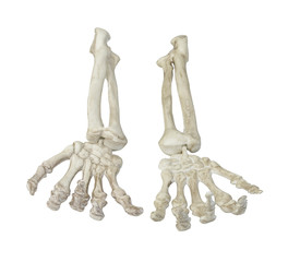 Skeleton Hands Palms Up Towards You