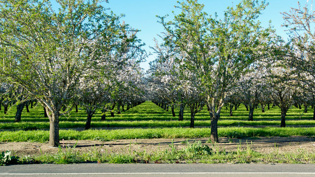 Panoramic view of almond blossoms in orchard photographed from across the street, showing a section of the road, in the beginning of the spring in Winters, California