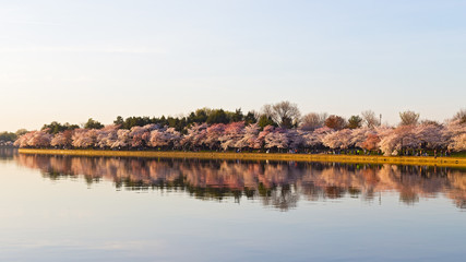 Cherry blossom in Washington DC. Beautiful Japanese cherry trees in full bloom around Tidal Basin in the spring.