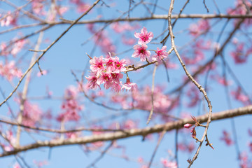 Cherry blossoms on blue sky background, Cerasoides on blue sky background,Wild himalayan cherry in thailand on blue sky background, Pink flowers on blue sky background, Selective focus
