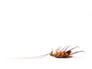 Close-up side view image of turn over cockroach isolate on white background with copy space