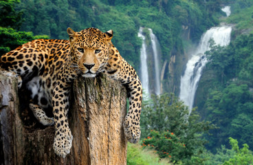 Fond de hotte en verre imprimé Leopard Leopard on waterfall background