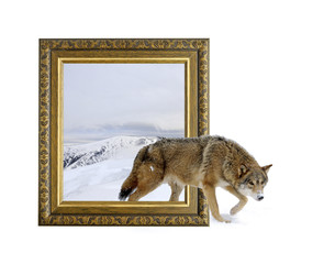 Wolf in frame with 3d effect