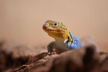 The Baja blue rock lizard (Petrosaurus thalassinus)