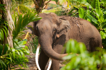 photo of beautiful huge elephant in the exotic jungle of sunny Sri Lanka