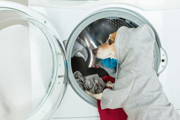 Funny dressed dog in sport style grey hoodie putting clothes to washing machine. Laundry and dry cleaning pet service. Empty space on back you can place your logo information