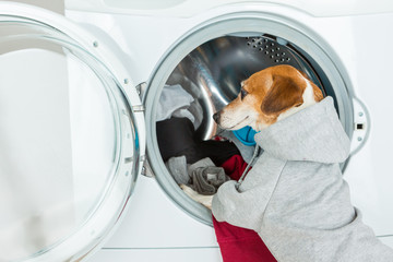 Gray (grey) hoodie sweater dog back closeup put clothes to washing machine. Funny smart pet  Laundry and dry cleaning service. On the back you can place your brand logo image or ad text