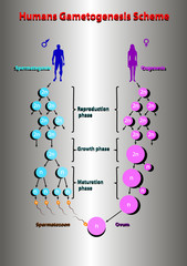 Humans spermatogonis oogenesis scheme education vector illustration info graphic.