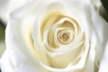 Blur focus of vintage white blossom roses