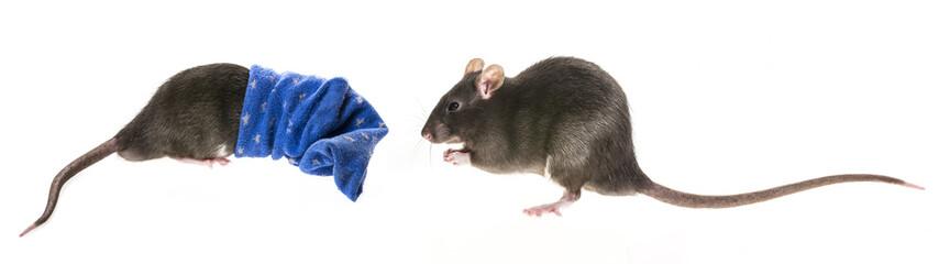 cute pet rat in a sock
