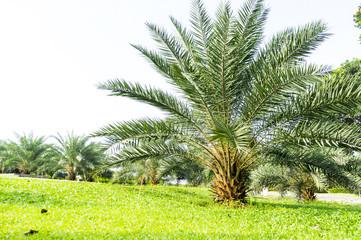 Date palms tree landscape at public park.