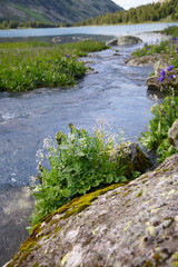 A small mountain river in the valley, Altai.