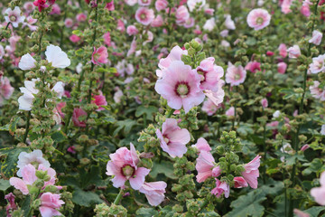 The pink hollyhockock (Alcea rosea )  flower in the garden