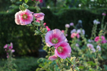 The pink hollyhockock (Alcea rosea )  flower in the garden.