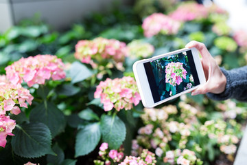 Woman taking photo on cellphone with Hydrangea at garden
