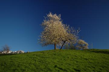 Albero fiorito sulla sommità della collina