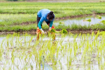 asian farmer working on Field