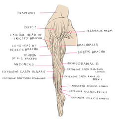lateral muscles of arm color