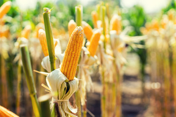 corn field on crop plant for harvesting