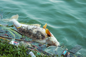 Pollution in rivers causes fish to die.