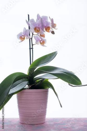 orchidee im rosa topf photo libre de droits sur la. Black Bedroom Furniture Sets. Home Design Ideas