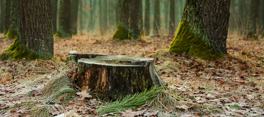 Stump in a wet foggy spring forest